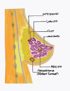 Simplified Illustration of a Female Breast