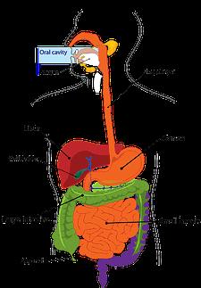 digestion-303364_640